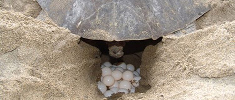 Lufussa-apoyando-proyecto-conservacion-tortuga-golfina