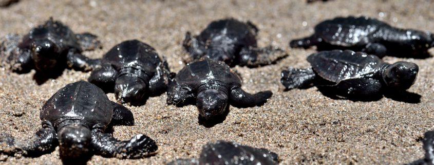 Luberación de tortugas golfinas