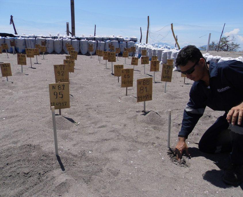Se contabilizan 614 nidos de tortugas